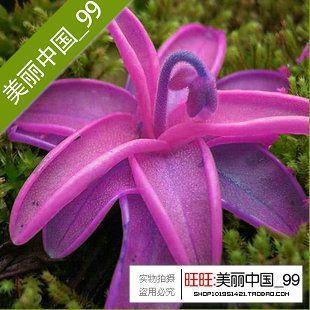 50 semien / balenie dovezeného osiva mix sukulenty črepníkových kvetín Osivá Lithops Pseudotruncatella semená-in Bonsai z domova & Garden na Aliexpress.com   Alibaba Group