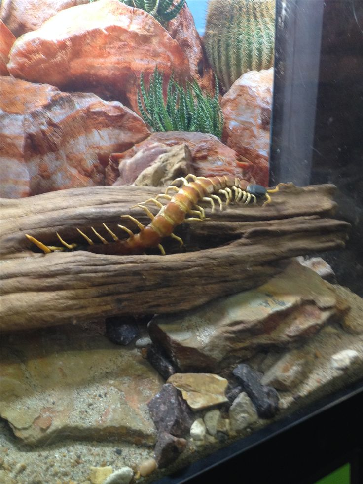 This was found in the rain forest too. It's a centipede. Found in the Forset