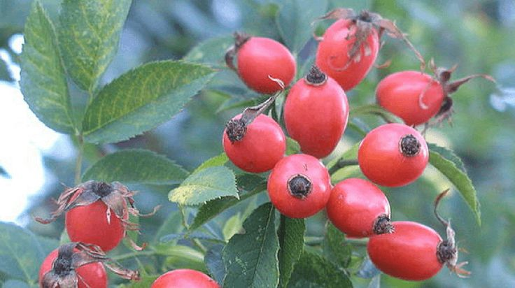 The forgotten story of rosehips, rosehip as food and medicine, delicious rosehip recipes, plus more... Click here to read!