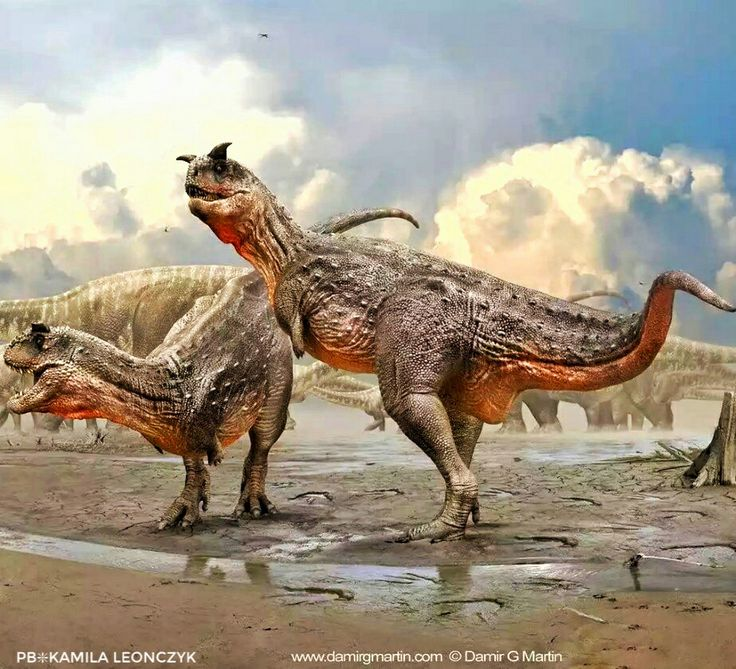 Carnotaurus was a lightly built, bipedal predator, measuring 8 to 9 m (26.2 to 29.5 ft) in length and weighing at least 1.35 metric tons (1.33 long tons; 1.49 short tons). As a theropod, Carnotaurus was highly specialized and distinctive. It had thick horns above the eyes, a feature unseen in all other carnivorous dinosaurs, and a very deep skull sitting on a muscular neck. Carnotaurus was further characterized by small, vestigial forelimbs and long and slender hindlimbs
