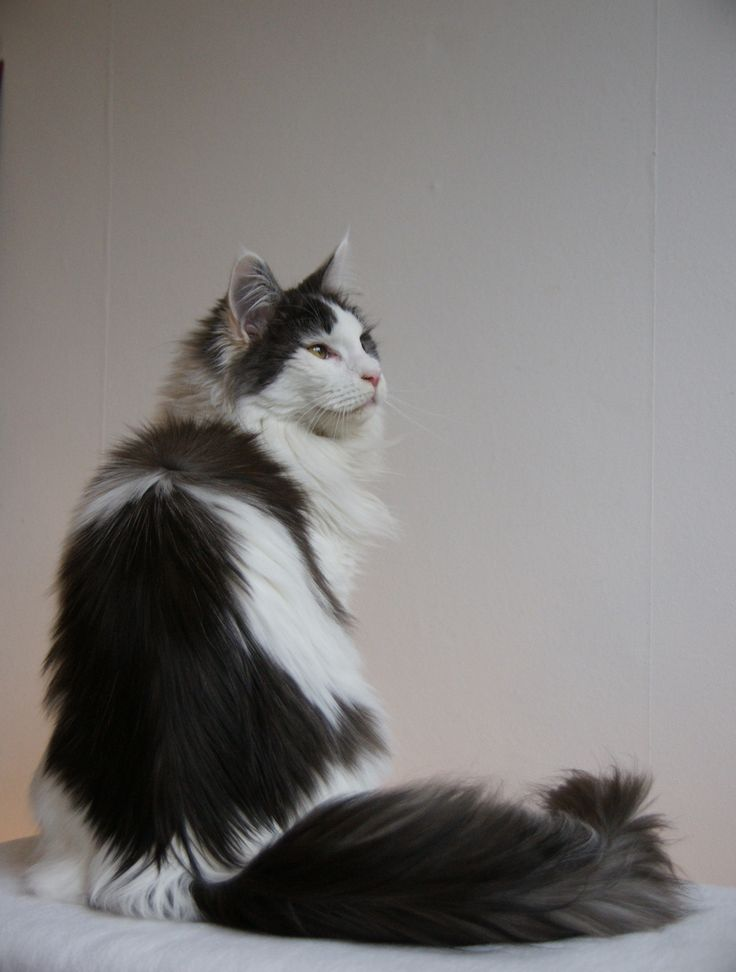 #Mainecoon #harlequin DK* Lyngkatten's Tessa - Black Smoke Harlequin (photo by Ellen La Lau)