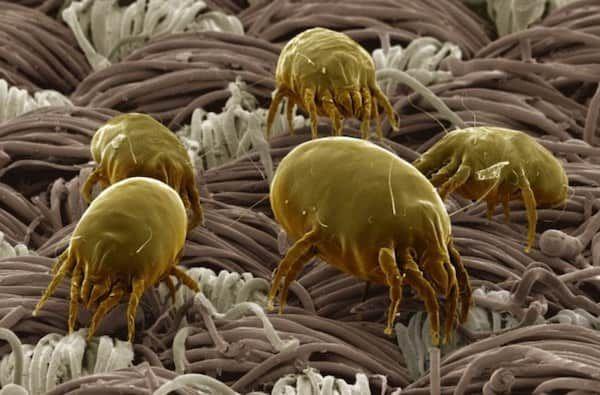 Les acariens vivent dans votre lit. Comment s'en débarrasser naturellement, facilement et rapidement ?