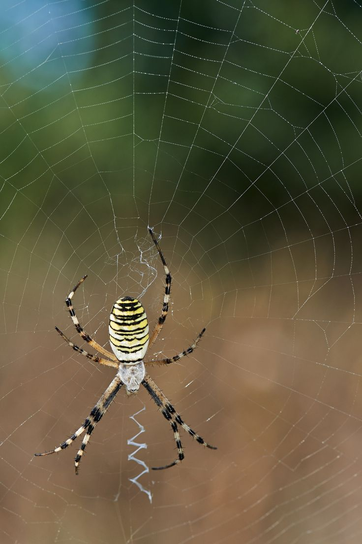 argiope bruennichi by Stefano Disperati on 500px