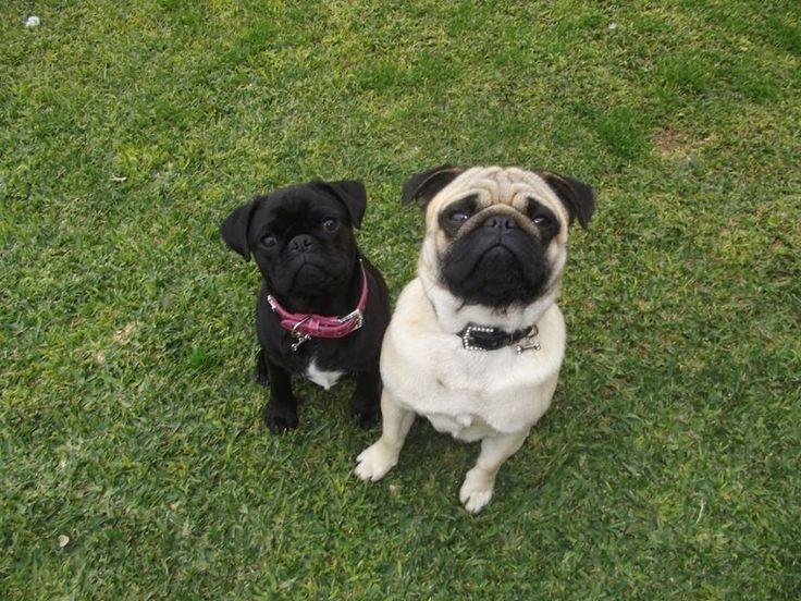 Harley & Peppa Pug | Pawshake Secret Harbour