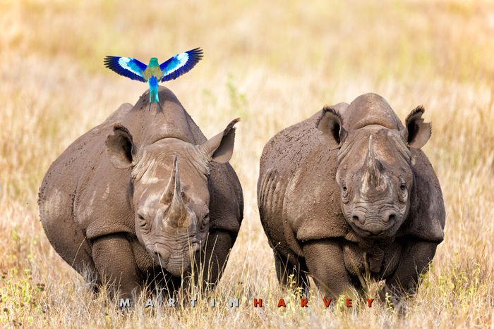 A lilac breasted roller uses a black rhino for a perch in the grasslands of Lewa Wildlife Conservancy, north Kenya.