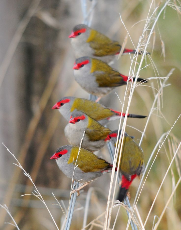 The red-browed finch (Neochmia temporalis) is an estrildid finch that inhabits the east coast of Australia.