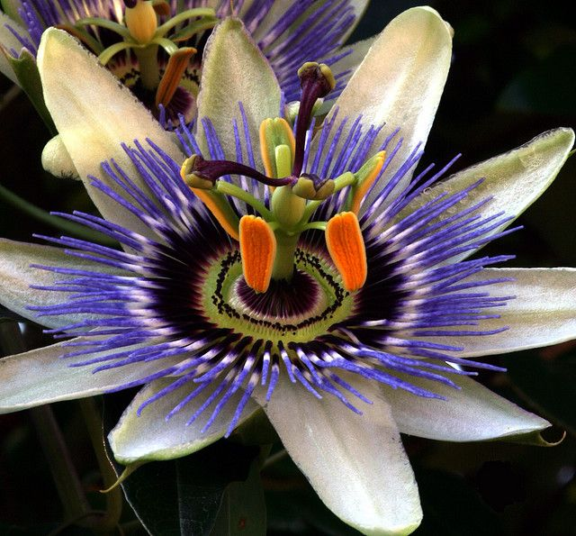Passion flower - Only the mind of God could create something so intricate and detailed!