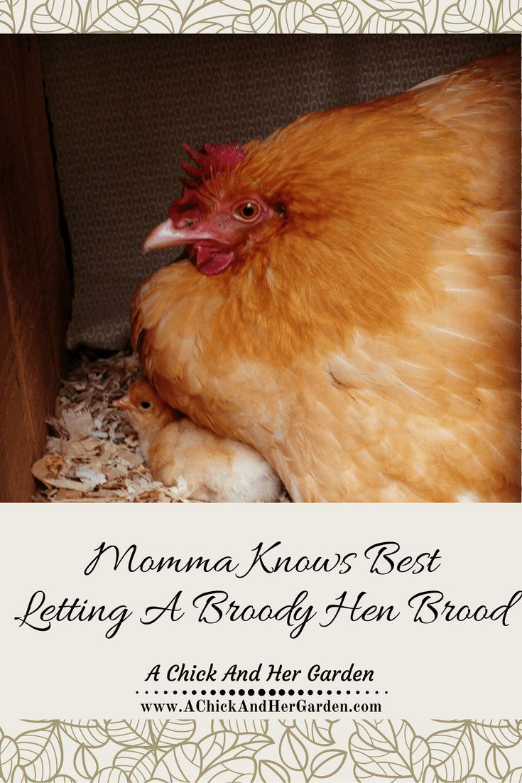 390 best images about raising chickens on pinterest