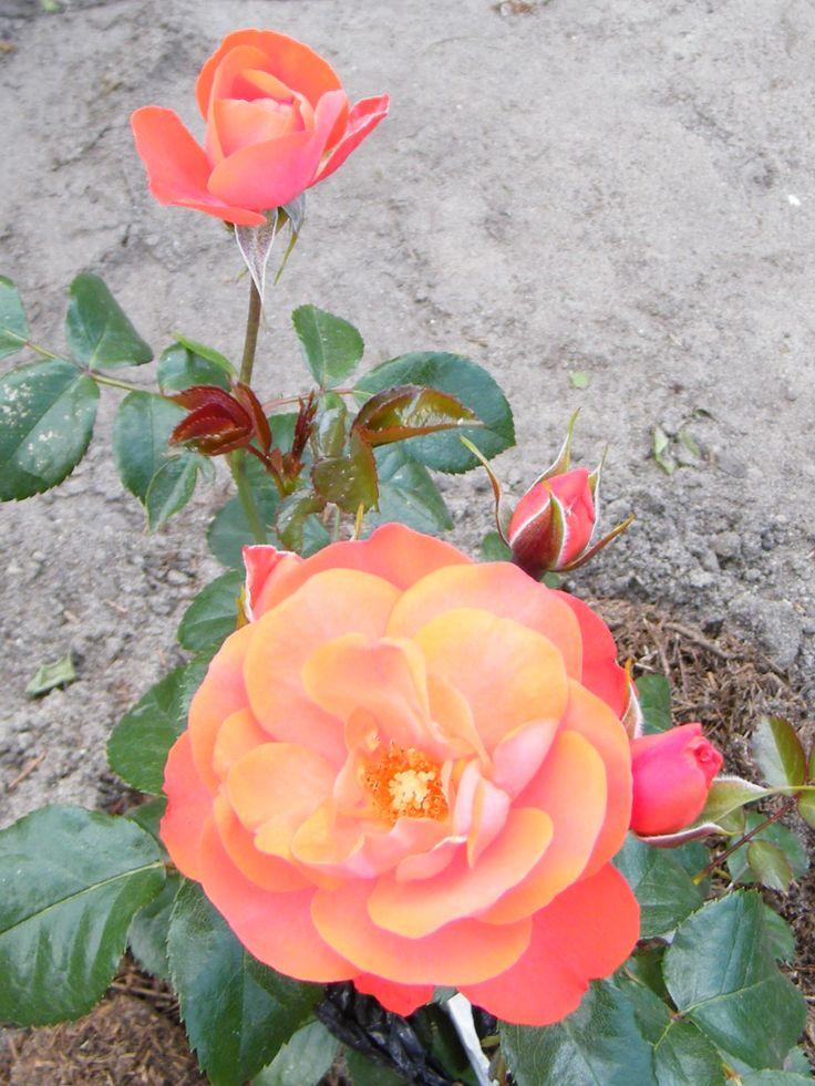 """роза """"Нина"""""""