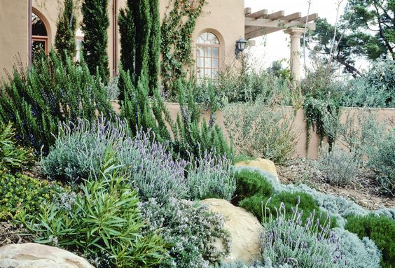 To show upright Rosemary with lavender and olive in the background | Mediterranean Garden: