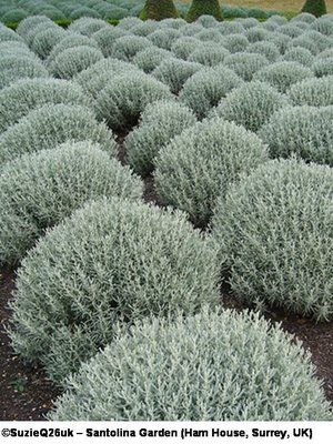 Grey santolina, or cotton lavender, is a wonderful plant for your flower beds. It's naturally dome shaped, and takes readily to shearing, if you would prefer a perfect sphere or a pyramid or what have you. It blooms with small yellow flowers that should be removed immediately after blooming or the plant will get scraggly. This also comes in an emerald green form--you can plant the two together for a checkerboard effect. It's great!
