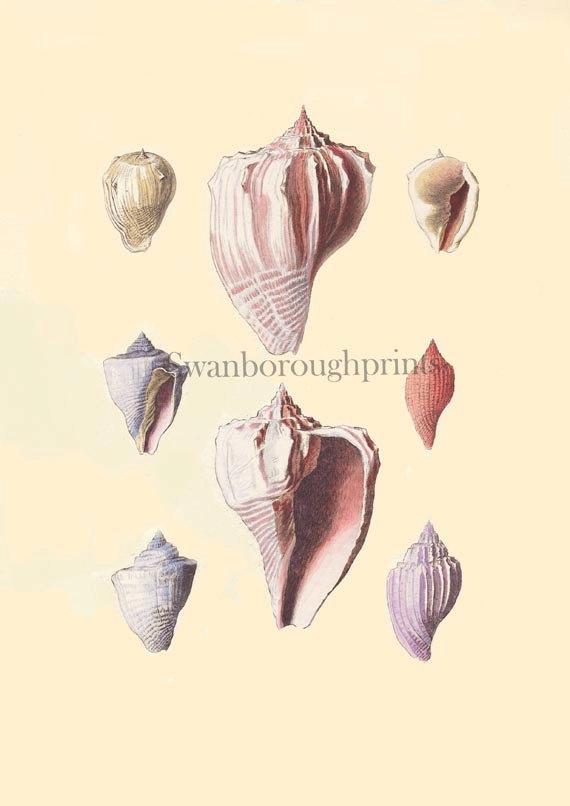 Blush Pink Shells Print Natural History by swanboroughprints. $15.00, via Etsy.