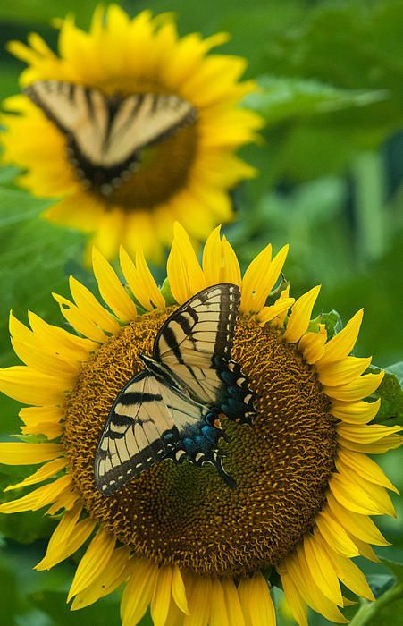 Sunflowers And Butterflies By Rande Cady
