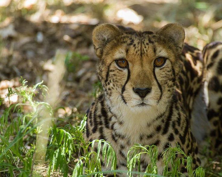 Snelheid souplesse... wat een schitterende dieren zijn dit toch. In de scheurkalender van National Geographic 2018 is een ander portret van mij van de cheetah opgenomen (1 oktober). #willemlaros #photography #travelphotography #traveller #canon #canonnederland #canon_photos #fotocursus #fotoreis #travelblog #reizen #reisjournalist #travelwriter#fotoworkshop #reisfotografie #landschapsfotografie #natuurfotografie #nature #africa #southafrica #limpopo #cameranu #flickr #fbp