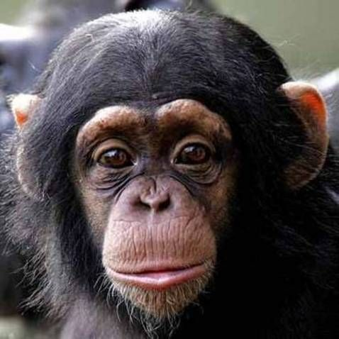 Sweet Baby chimpanzee face! | Chimpanzee | Pinterest ...