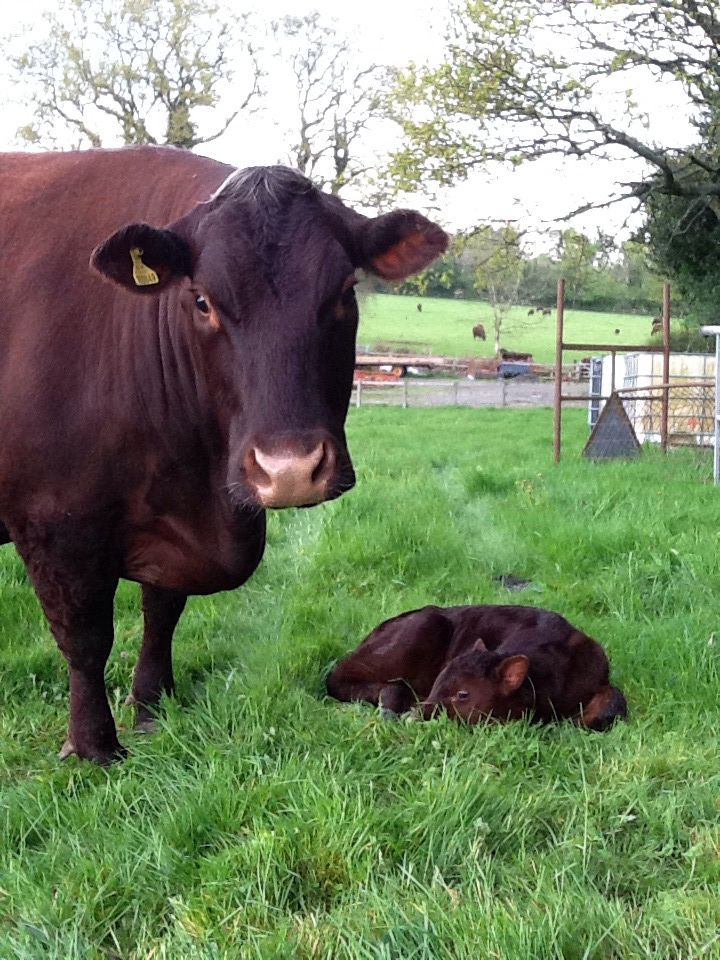 Lovely Lottie with her new calf to join our Sussex cattle Herd.