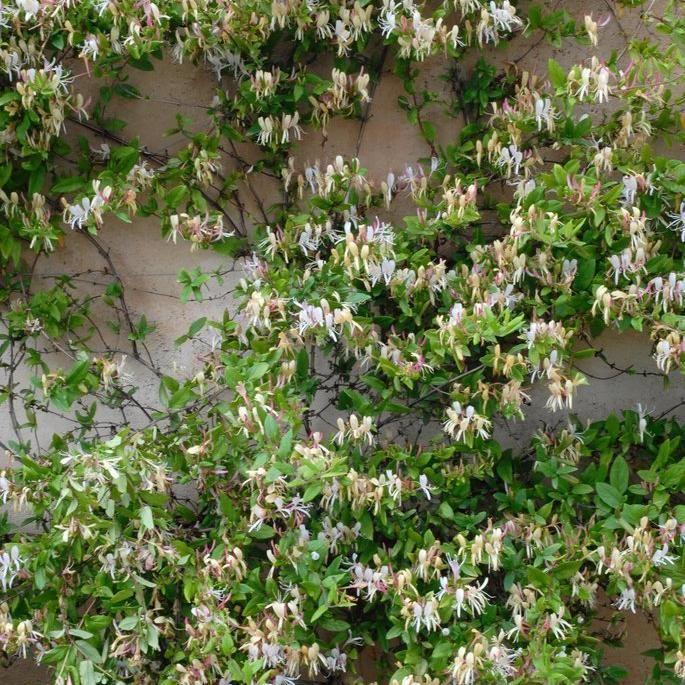 Plante grimpante Chèvrefeuille du Japon (Lonicera japonica) Mi ombre, terre ordinaire fraîche. Taille : réduisez tous les rameaux à 5 cm du treillage en janvier février