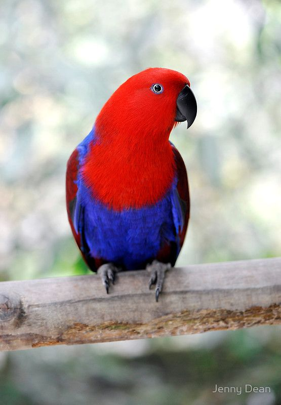 Sitting Pretty - Eclectus parrot