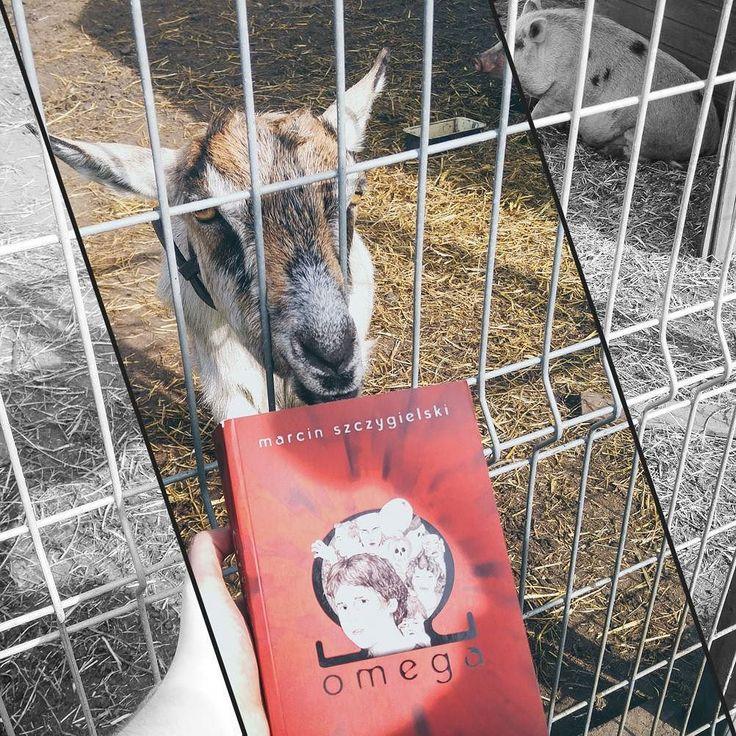 Przyszła koza do Szczygielskiego. Też uważała że to smakowity kąsek i chciała książkę zjeść  Za to bohaterka drugiego planu literaturą polską zupełnie nie była zainteresowana   #MarcinSzczygielski #Omega #MałeZoo #bohaterdrugiegoplanu #bookstagram #bookstagrampl #booktube #booktuber #books #book #książka #książki #terazczytam #currentlyreading #czytam #TBR2017 #goodreadsreadingchallenge #readingismagic #readingisgood #readingislove #readingisawesome #czytaniejestfajne #czytambolubię…