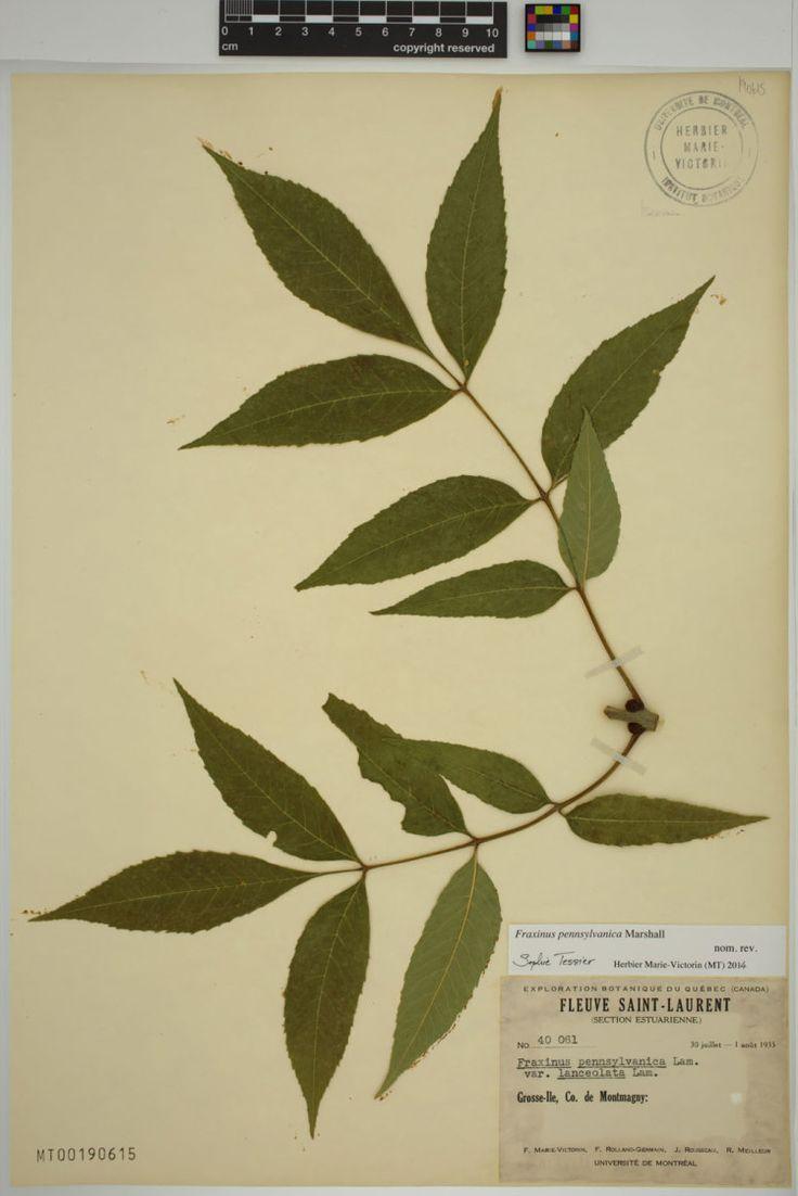 Fraxinus pennsylvanica Marshall var. lanceolata (Borkhausen) Sargent. - Collecte 40061. - Grosse-Île.