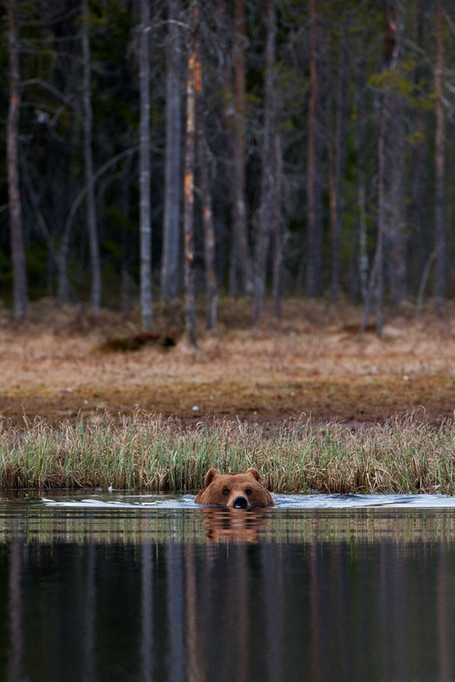 Ours brun, Finlande