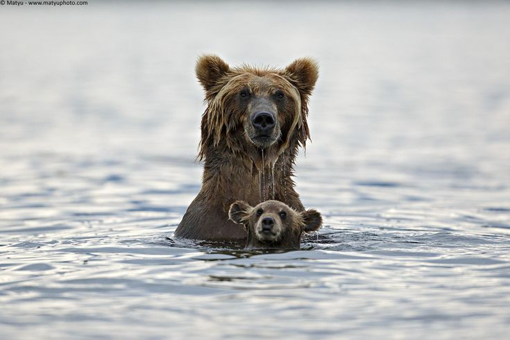 Grizzly in deep water by Marco Mattiussi on 500px.com