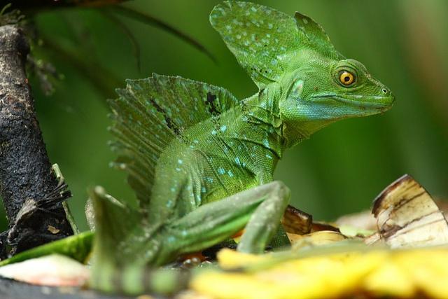 Emerald Basilisk - Costa Rica by Peet van Schalkwyk, via Flickr