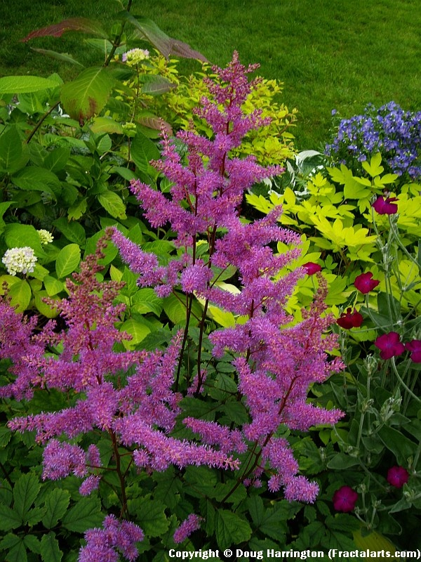 Astilbes in one of my shady garden areas.