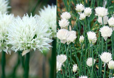 Klehm's Song Sparrow Farm and Nursery--Sun Perennials--Allium schoenoprasum 'Snowcap'