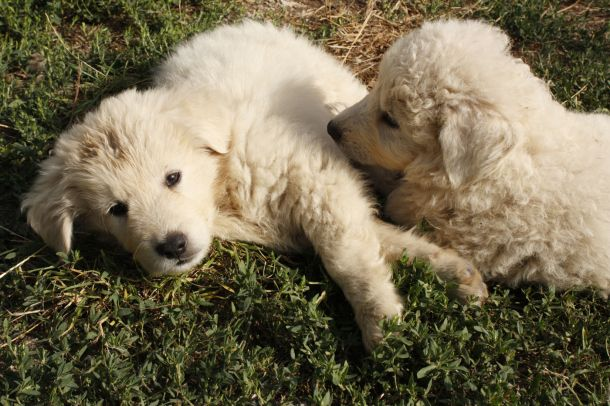 #Abruzzo sheepdog (pastore abruzzese) #puppies #italy