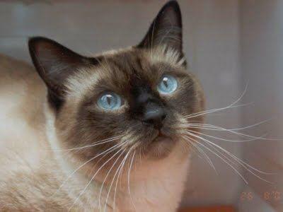 ¸.•*Un Mundo Animal*•.¸: Razas de gatos domésticos.