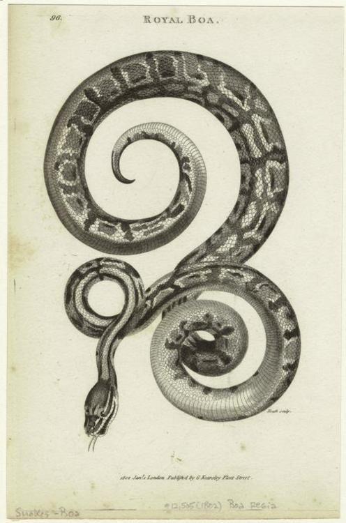 Royal boa. (1802) -★-