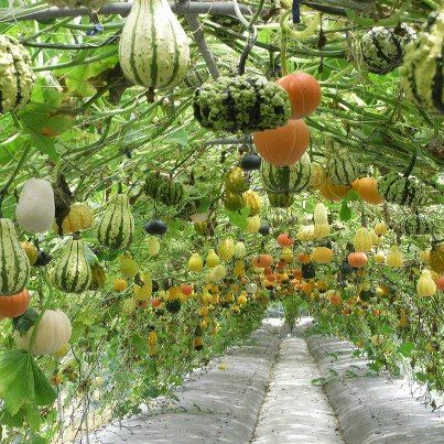 tunnel of gourds, what an amazing way to grow them!
