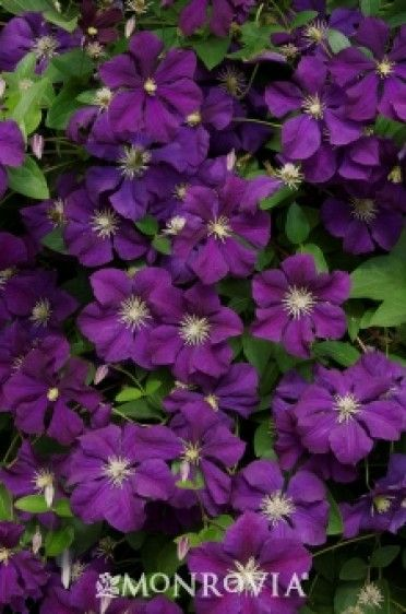 top 10 tips on growing gorgeous clematis vines top inspired