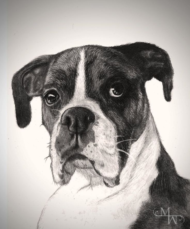 •Doggy• 15 x 12 in. Graphite A portrait I made for a lady. His name is Quigly. :) https://www.facebook.com/MelanieWebberArt #art #drawing #realistic #realism #black #boxer #dog #portrait