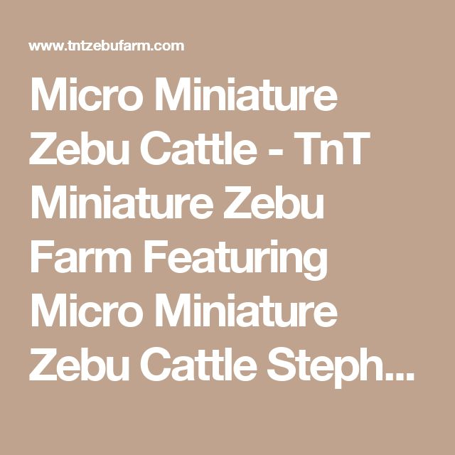 Micro Miniature Zebu Cattle - TnT Miniature Zebu Farm Featuring Micro Miniature Zebu Cattle Stephenville Tx