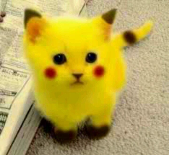 pikachu cat aww pinterest pikachu cat cats and kittens