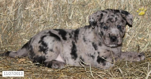 Boxador Puppy for Sale