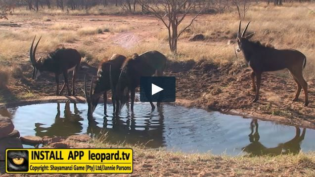 The sable antelope is dependent on water and drinks about 7 litres of water per day. The habitat basically consists of open bushveld with palatable medium to tall grasses near wetlands; dense woodlands are avoided. They prefer waterholes which large herds of other herbivores do not frequent...#leopardtv #africa #wildlife