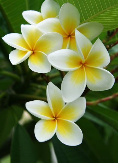 Gorgeous Tropical Flower Plumeria, In Hawaii we strung these making leighs for the sailors when they came home from Westpacs, up to 9 month absences. VEry strong and sweet smell.