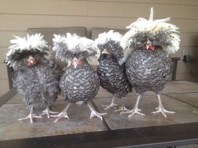 651 best images about chicken coops on pinterest for Fancy chicken coops for sale