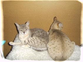 Gossamyst Australian Mist cats   Hebe and Yanna