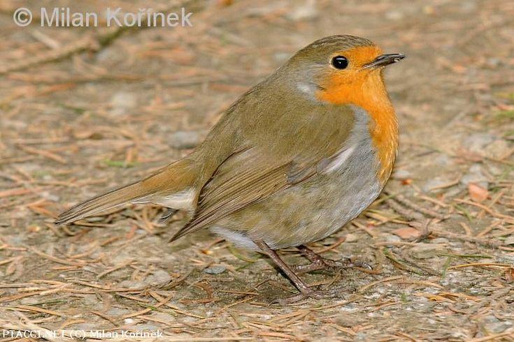 Červenka obecná - Erithacus rubecula http://biolib.cz | © Milan Kořínek |