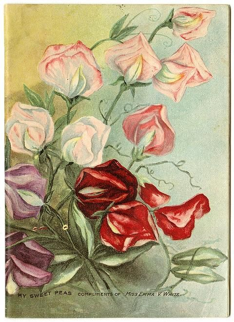 "Many colorful sweet peas are intertwined on the front cover of Miss Emma V. White's 1907 catalog. This is her first catalog in a larger format.  Emma V. White called herself the ""North Star Seedswoman"" and had her first mailing in 1896. She produced catalogs with colorful, hand painted covers aimed at woman customers."