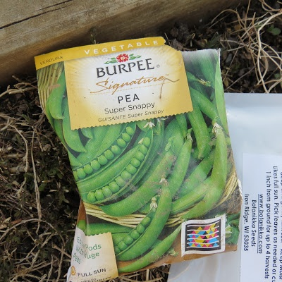 Planting Spring Peas: Container Plantings: Text, Pictures and Video