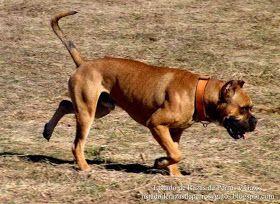 Raza de perro Alano español, perro de agarre o presa (Can alán, Espanjandoggi, Spansk bulldog, Алано, Испанский алано, испанским бульдогом)