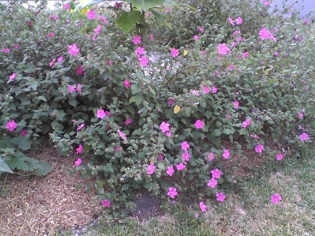 Texas native sub-shrub Pavonia rock rose was grown as a ...