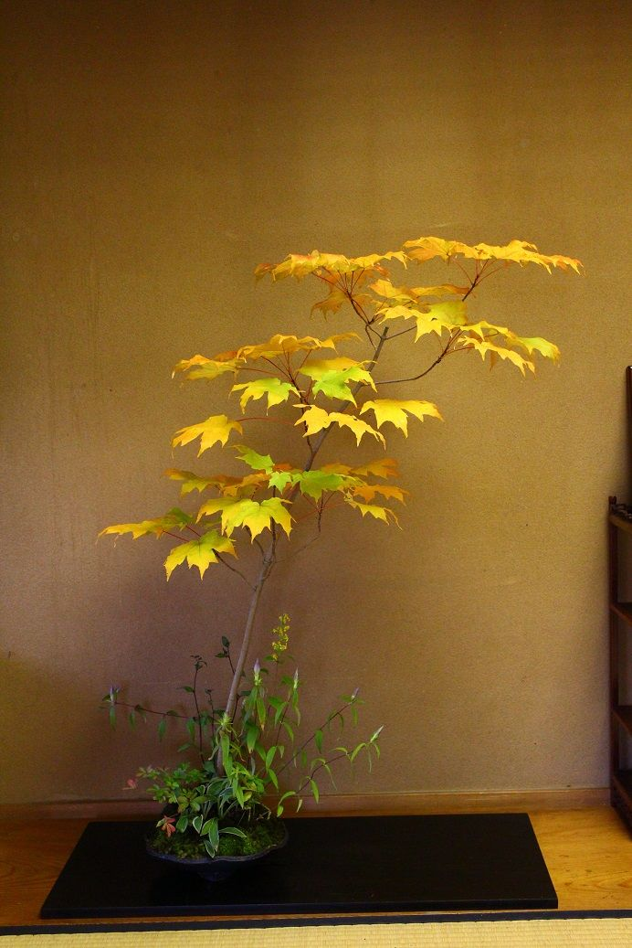 サトウカエデ http://philosophy-of-bonsai.cocolog-nifty.com/photos/uncategorized/2013/10/30/888.jpg
