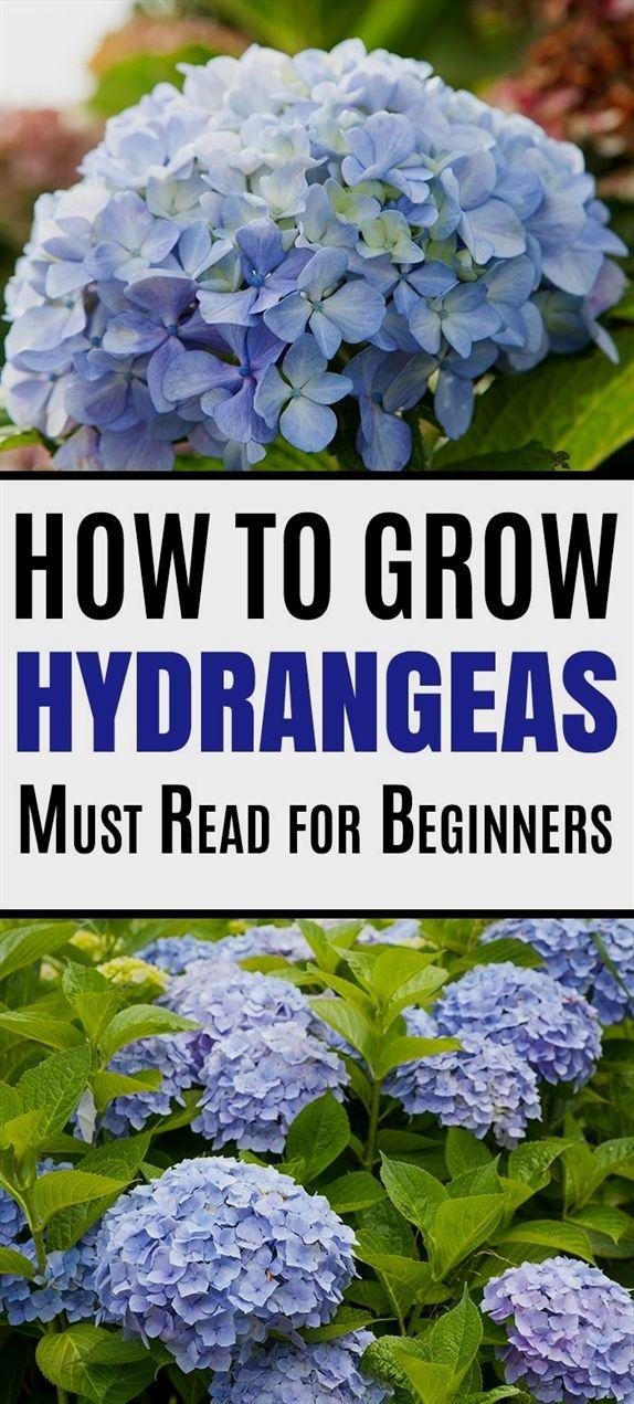 Hydrangea Care And Growing Tips In 2020 Growing Hydrangeas Hydrangea Care Flowering Shrubs