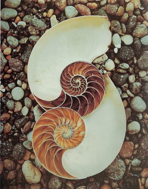 Nautilus shell with counterclockwise and clockwise spiral represents the continuum.  https://www.pinterest.com/LeslieAnneliese/spirals/